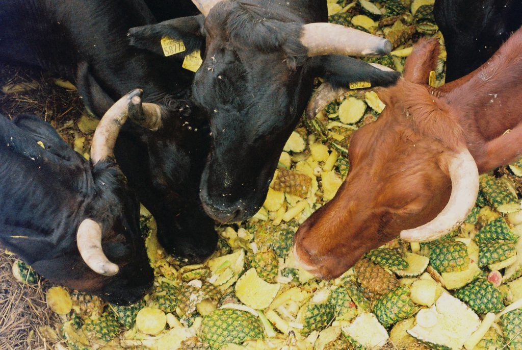 Cows eating pineapple in Fukushima.